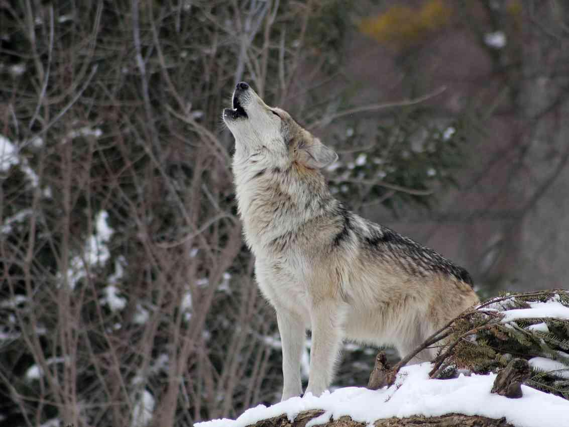 Immagine articolo: Perché si dice in bocca al lupo? Ecco perché
